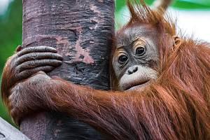 Orangutan Diri v pražské zoologické zahradě.