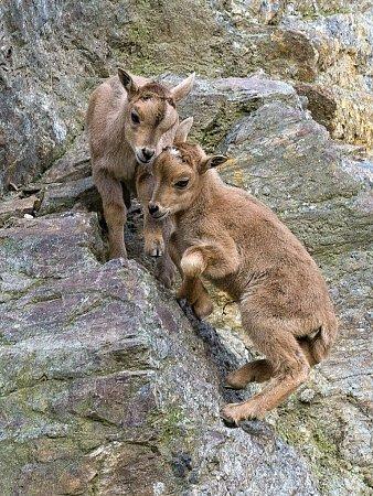 Mláďata paovcí hřivnatých jsou hned od narození vybavena dostatečně hustou srstí, ivzimě se tak venku na skalách cítí jako doma.