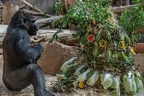 Oslava dvacátých narozenin gorily Bikiry.