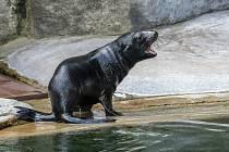 Mládě lachtana dostalo jméno Eda a vplulo do velkého bazénu.