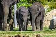"""Mláďata slona indického Maxe a Rudiho teď mohou návštěvníci vídat i v """"zeleném"""" výběhu na trávě."""