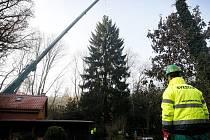 Kácení vánočního stromu pro Staroměstské náměstí v Praze proběhlo 20. listopadu ve středočeské obci Malé Kyšice – Poteplí na Kladensku.