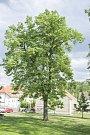 Stromy republiky - Dubeč.
