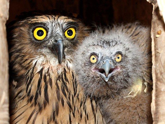 V hnízdní budce se ukrývá čtvrté mládě ketupy malajské odchované v Zoologické zahradě Praha se svou matkou.