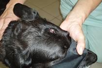 Prohlídka opuštěné fenky přinesla šok: uprostřed temene hlavy vězel psovi projektil z malorážky (na snímku), který naštěstí neprorazil lebeční kost.
