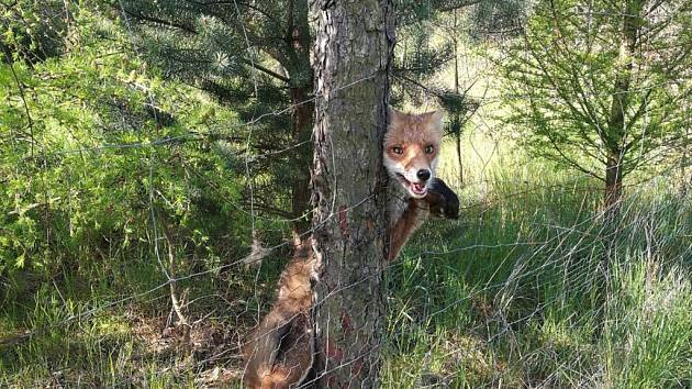 Liška uvízla v plotě.