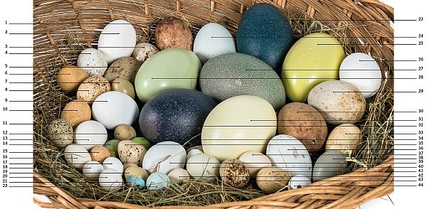 Ošatka ptačích vajec by mohla snadno konkurovat malovaným kraslicím. Pro kurátora ptáků je identifikace vajec vcelku snadná. Zkuste si tipnout, kterých druhů ptáků jsou vejce vošatce.