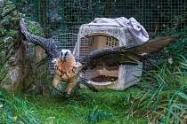 Noví orlosupi bradatí byli vypuštěni do venkovní voliéry. Starý pár, žijící v pražské zoo přes čtyřicet let, byl přesunut do prostorné voliéry v zázemí.