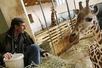 Žirafí samec Václav je již devět a padesátým mládětem žirafy Rothschildovy v pražské zoo.