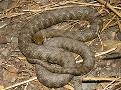 V neděli je Světový den hadů a patřit bude mimo jiné i užovce podplamaté.