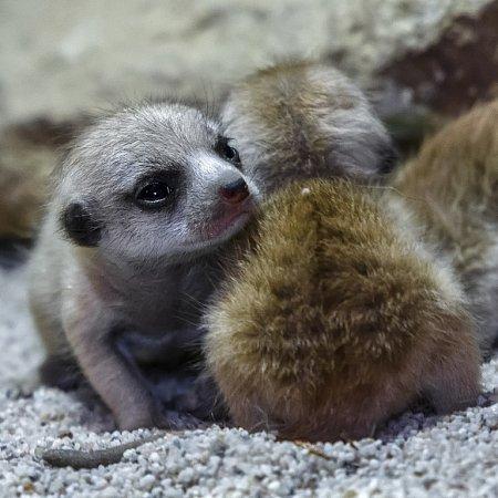 Mláďata jsou na svůj věk poměrně veliká a čiperná.
