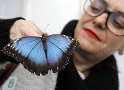 Ostruháci rodu Charaxes nejenže patří k nejrychleji létajícím motýlům, ale mají i vybrané stravování. Rádi si smlsnou na levhartím trusu.