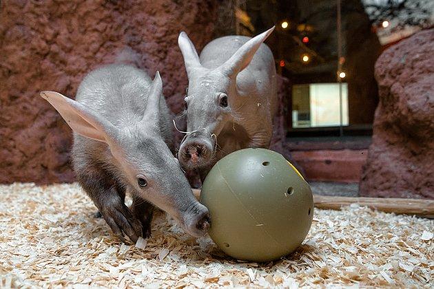 Hrabáči kapští Kvída a její dcera Nyota si pochutnávají na červech ukrytých vkrmném míči.