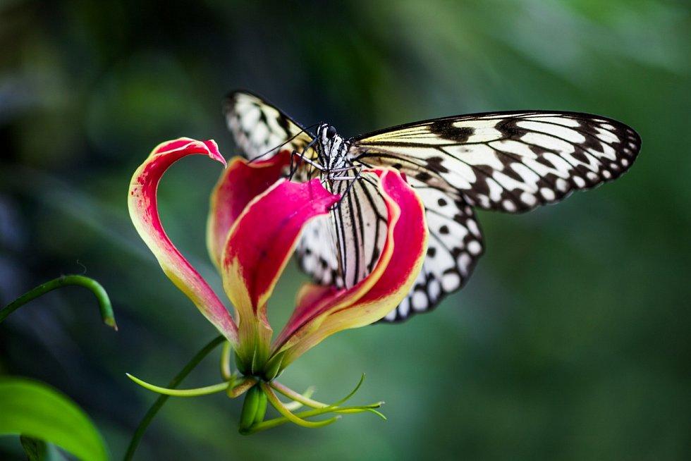 V Botanické zahradě začala výstava Motýli: Jedovatá sezona.