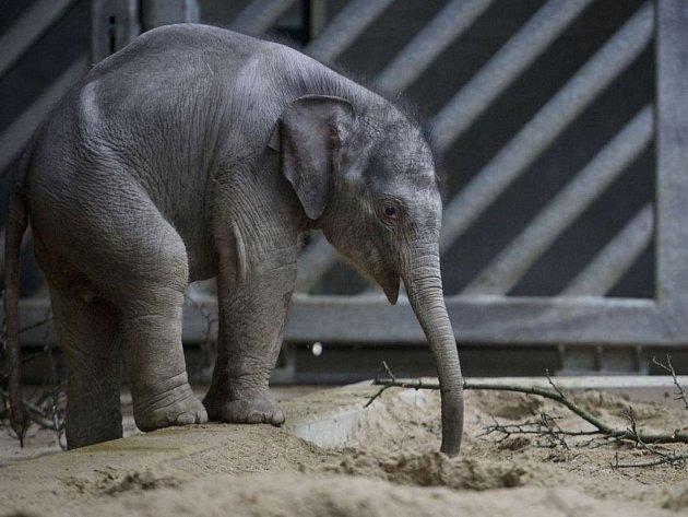 Sloní slečna narozená v pražské zoo 11. února 2013