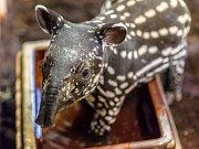 Chovatelé z pražské zoo potvrdili, že mládě tapíra čabrakového je kluk.