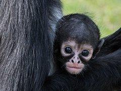 Půlroční samička chápana středoamerického se ještě většinou drží své matky.