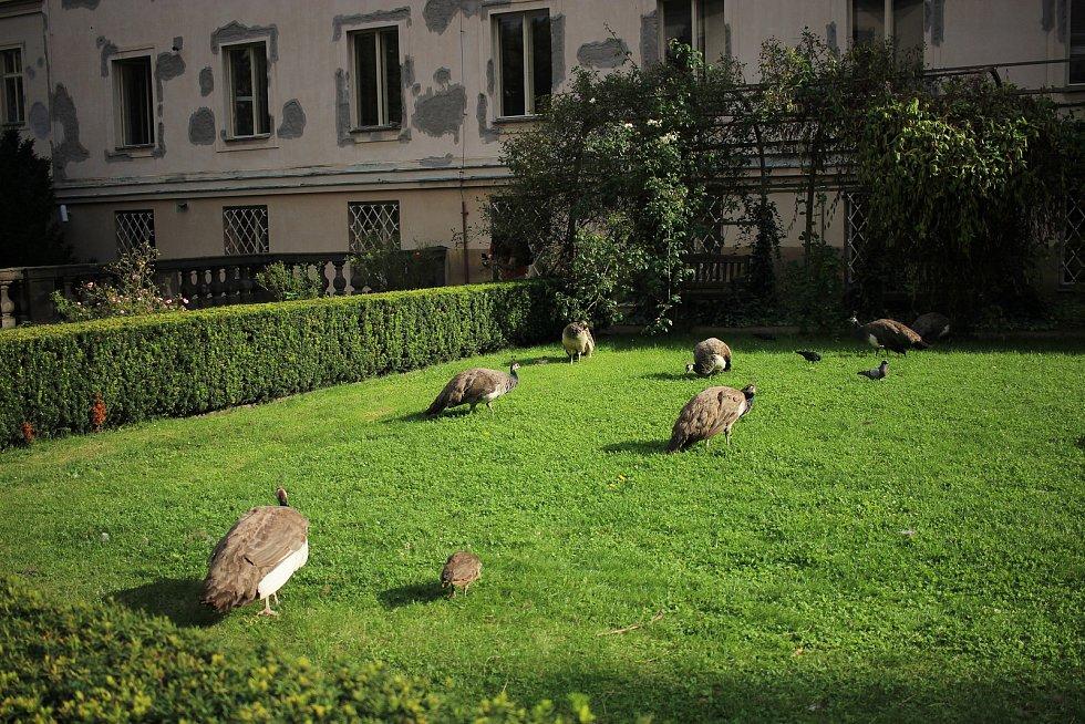 Pávi dodávají parku na romantičnosti a na lidské návštěvníky jsou zvyklí.
