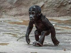 Sameček gorily nížinné Ajabu oslaví v neděli 23. dubna první narozeniny.
