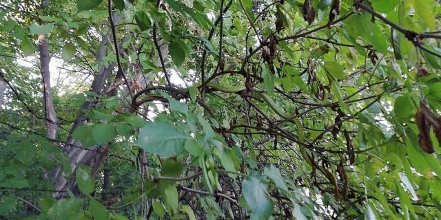 Jedovatá mamba zelená byla nalezena a odchycena v Praze živá.