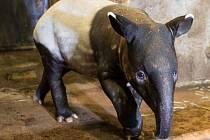 Mládě tapíra čabrakového v pražské zoologické zahradě dostalo jméno Budak Puntja, což se dá přeložit jako kluk Puňťa.