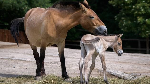 Nově narozený hřebec je v pořadí již pátým mládětem klisny Jessicy.