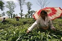 Sběrači čajových lístků v Indii./Ilustrační foto