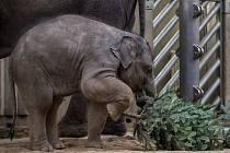 Zvířata z pražské zoo si zpestřila jídelníček vánočními stromky.