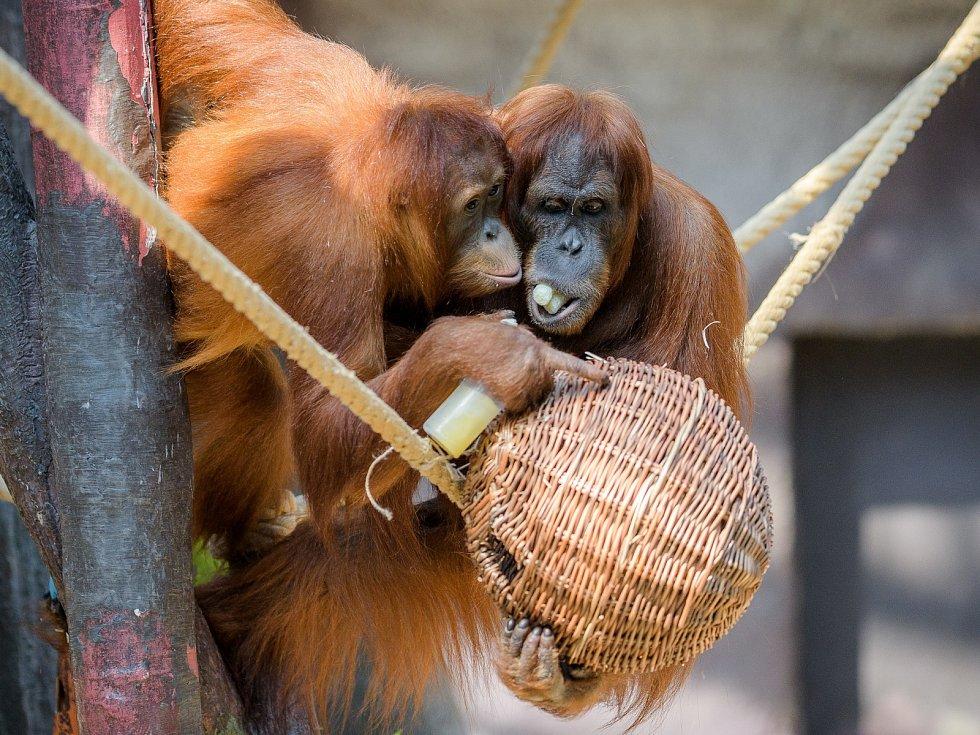 Z přírodních materiálů se často pro výrobu enrichmentu používá vrbové proutí. Koše, kukaně či proutěné koule zpestří prostředí a zároveň je lze naplnit potravou. Na snímku se o pamlsky ukryté vproutěné kouli dělí dvě samice orangutana sumaterského.