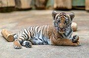 Úbytkem přirozeného prostředí kvůli pěstování palmy olejné je ohrožen i tygr malajský. Na snímku je samička Wanita.