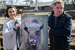 Zoo Praha se podílí na návratu zubrů na Kavkaz. S mladou samicí Prťkou se rozloučili její kmotři, herci Veronika Freimanová a Václav Kopta.