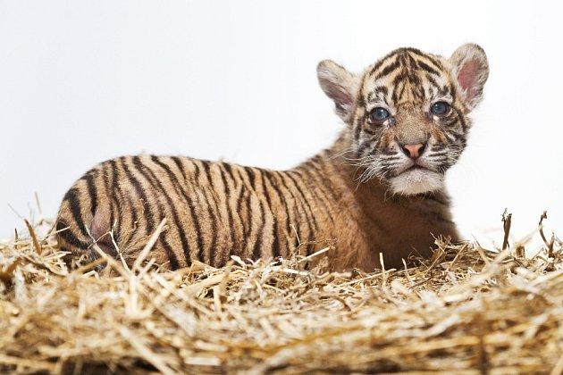 Malý tygr již začíná opouštět porodní box.