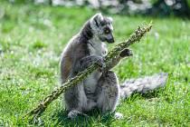 Lemur kata s pomlázkou (ilustrační snímek z roku 2016).