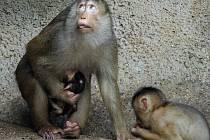Zoo Praha má další mládě makaka vepřího; chová jej jako jediná v ČR.