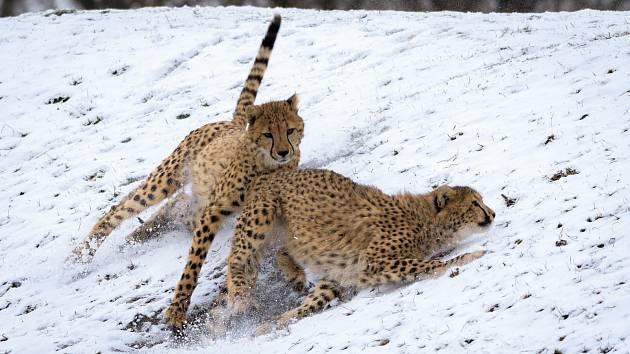 Ani sníh nezabrání našim gepardům předvádět návštěvníkům, jak zdatnými běžci jsou.