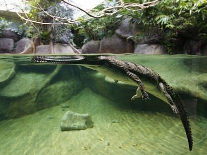 VELKÁ PREMIÉRA. Návštěvníkům pražské ZOO se poprvé představí vzácní gaviálové, které pražská zoologická zahrada dovezla přímo z Indie.