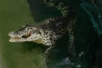 Snímky z krmení samičky krokodýla kubánského Sapfó byly pořízeny fotoaparátem ovládaným nadálku. Zvířata jsou od návštěvníků oddělena dvěma pletivy. GoPro kameru krokodýl rozkousal.