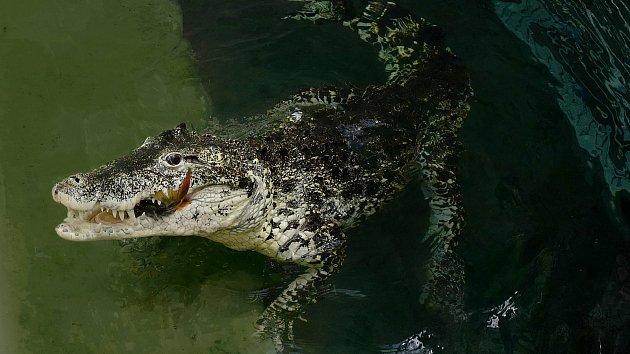 Krokodýl kubánský v Zoo Praha