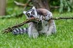 Tradičně dostávají v období Velikonoc svou pomlázku například lemuři. Lemur kata si rád pochutnává na pomlázce s mladými lístky.