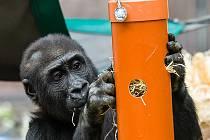 Gorilí sameček Nuru letos slaví třetí narozeniny.