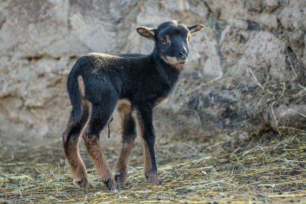 Prvními mláďaty roku jsou v Zoo Praha ovce kamerunská a želva tuniská.