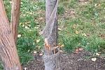 Vandal poškodil stromky v parku Folimanka.