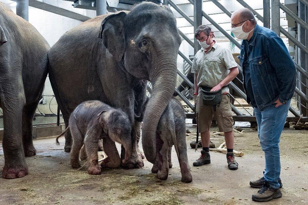 Vrchní chovatel slonů Martin Kristen a ředitel Zoo Praha Miroslav Bobek se slůňaty a jejich matkami (vpravo Tamara, teta novorozené samičky).