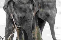 Nejvíce adoptivních rodičů a sponzorů v Zoo Praha mají sloni.