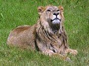 Lev indický ve výběhu v pražské zoologické zahradě.