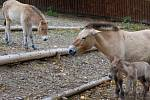 Zkušená matka Hara své poslední mládě pečlivě chrání, podle chovatelů k němu nepouští ani sourozence.