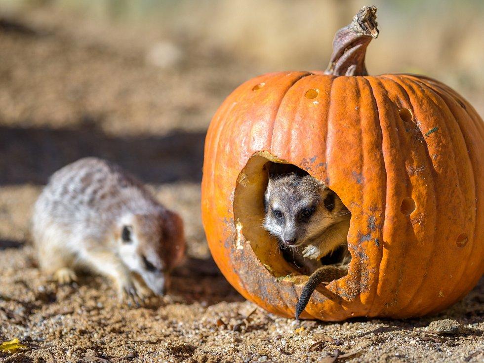 Environmentální enrichment lze často spojit senrichmentem potravním. Příkladem může být vydlabaná dýně, doníž chovatelé surikatám ukryli jejich oblíbený hmyz.
