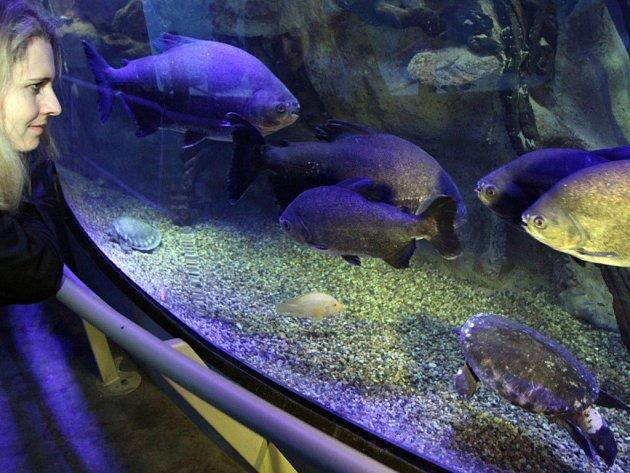 Znovuotevření středové průhledové nádrže v Mořském světě v Praze. Je opět koncipována do prostředí jihoamerické Amazonie.