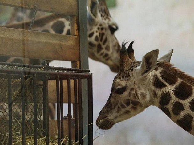 Křest žirafího mláděte v pražské ZOO.