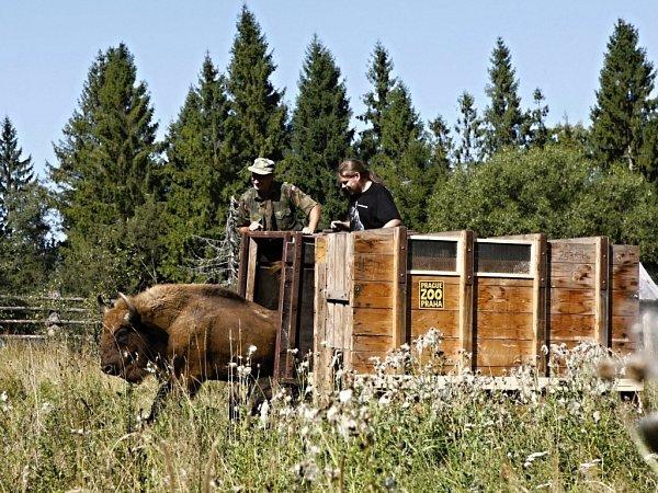 Zoo Praha se již opakovaně zasloužila onávrat zubrů do volné přírody, naposledy vroce 2011do Národního parku Bieszczady vjihovýchodním Polsku.